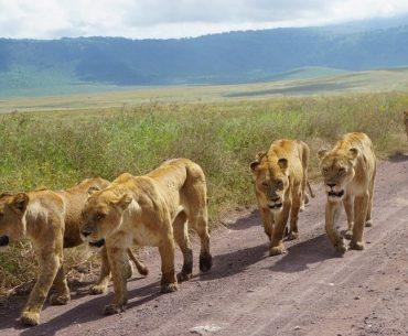 Lions up close Serengeti Ngorongoro