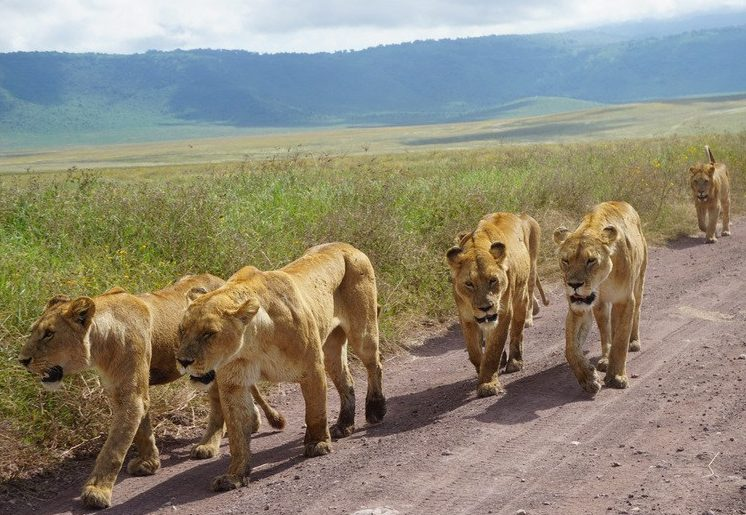 Lions up close Serengeti Ngorongoro