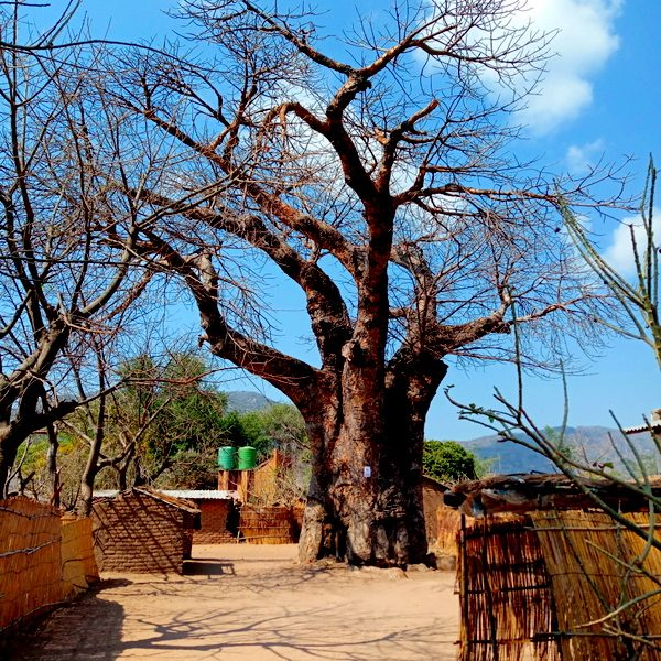 baobab tree and blue sky