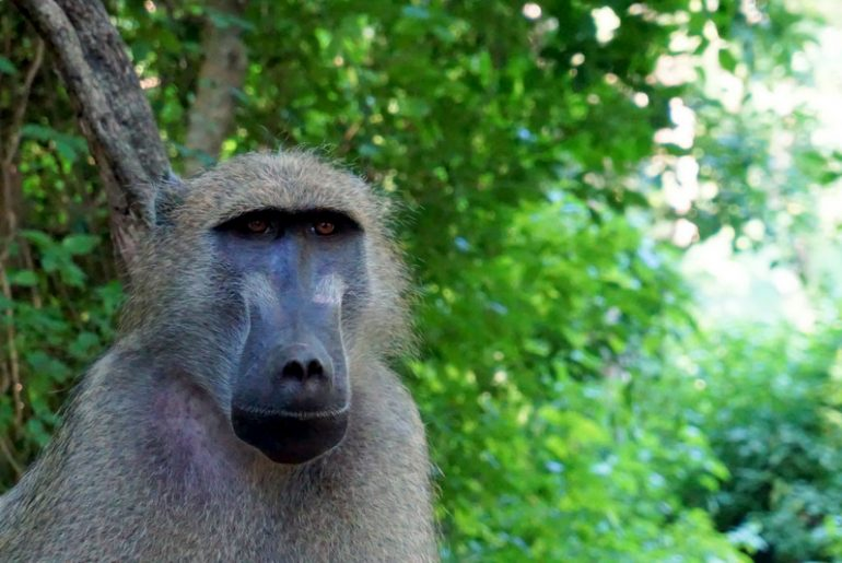 A pensive looking baboon monkey