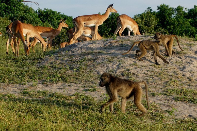 baboons and impala