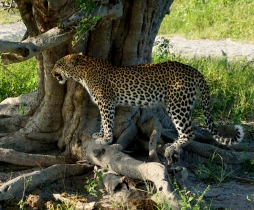 leopard next to tree