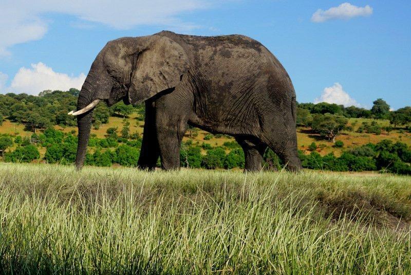 elephant in field