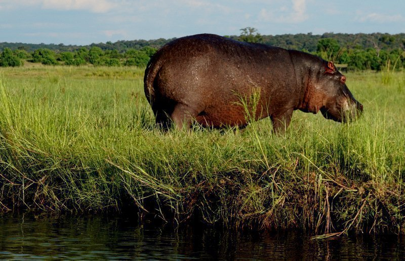 big hippo in field